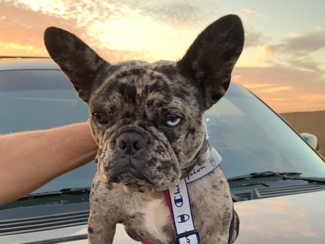 Day Around the Bay: South San Francisco Police Retrieve Stolen Frenchie In Sting