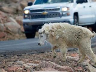 Helicopter sharpshooters to kill Grand Teton nonnative goats