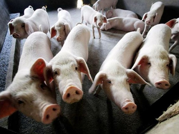 """Global Authorities Brace For Worldwide Protein Shortage After """"Quarter Of Earth's Pigs Wiped Out"""""""