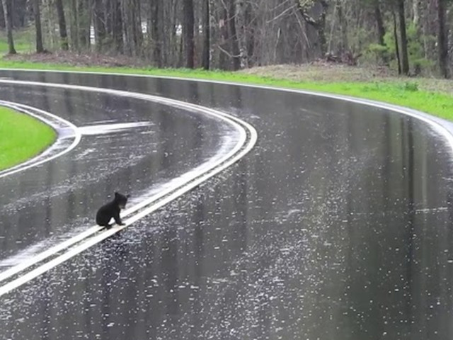 Mama bear helps her tiny scared cubs to cross the road