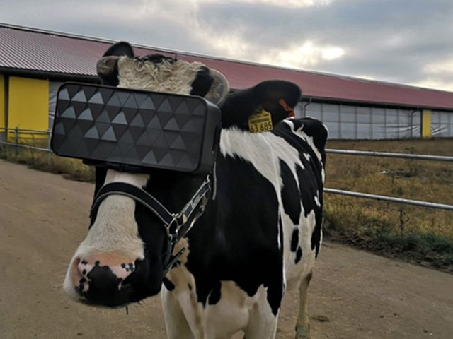 Apparently Cows Wearing VR Headsets Will Produce Better Milk