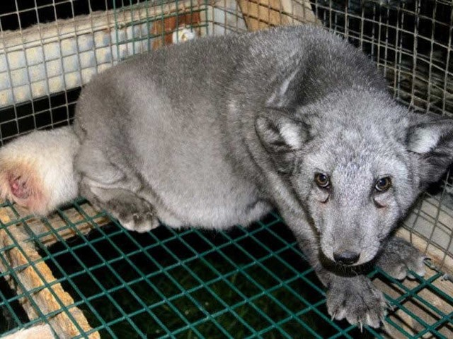 Norway's new government pledges to ban all fur farming by 2024