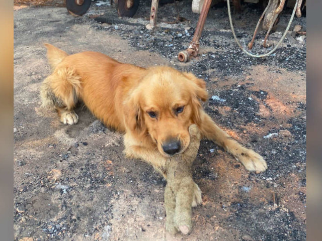 Dog Finds His Favorite Toy After Family Loses Everything In Australian Fire