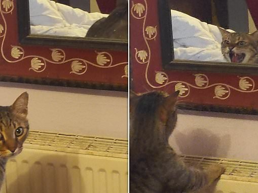 Puss off! Hilarious moment cat hisses and GROWLS at his reflection after mistaking it for a rival