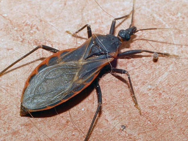 Medical News Today: Kissing bug bites: Symptoms, risks, and treatments