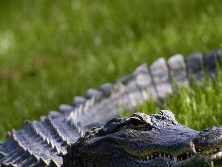 VIDEO: Florida Alligator Combusts Upon Swallowing Drone