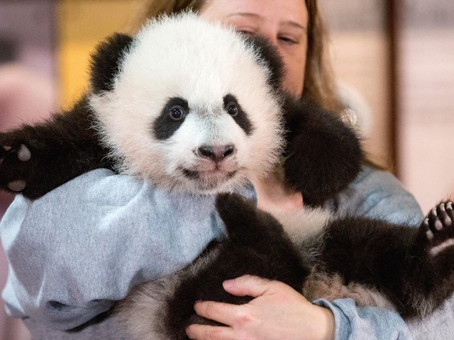 Bei Bei, giant panda, to leave National Zoo in D.C., move to China in November