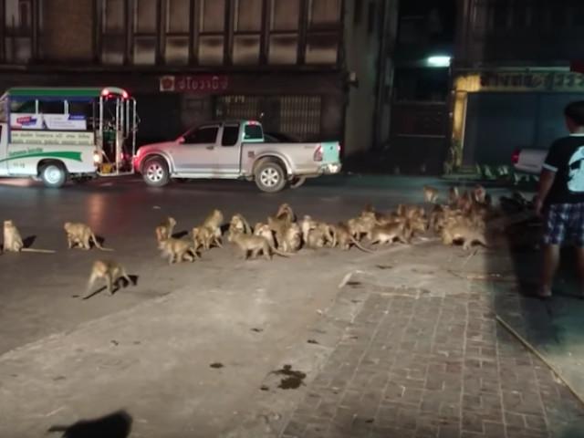 Video: Hundreds of Monkeys Overrun Thailand Street