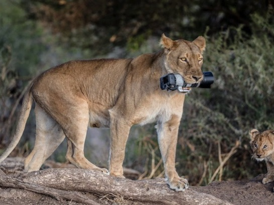 Lioness's Gives Cubs Photographer's Canon DSLR As A Toy