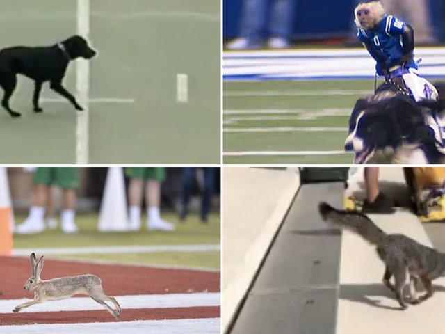 The absolute best moments of live animals interrupting football games