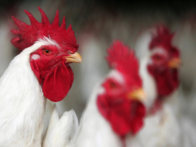 How Chicken Activists in California Broke the Law to Start a Reasonable Debate About Animal Cruelty