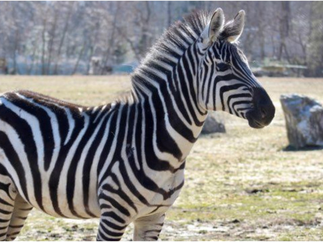 Cape May County Zoo welcomes new Grant's Zebra 'Lydia'