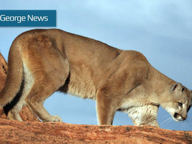 Suspected mountain lion attack prompts warning for Springdale residents
