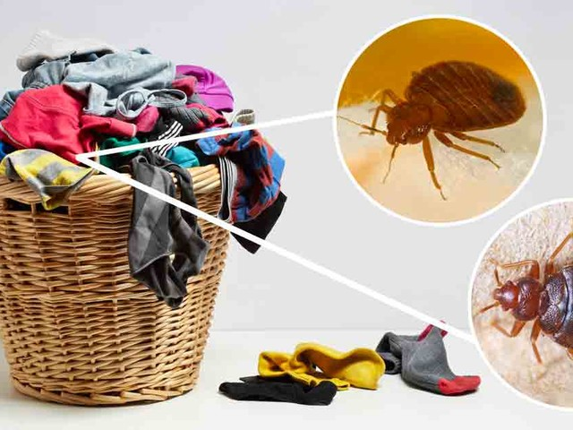 Bedbugs Like the Smell of Dirty Laundry