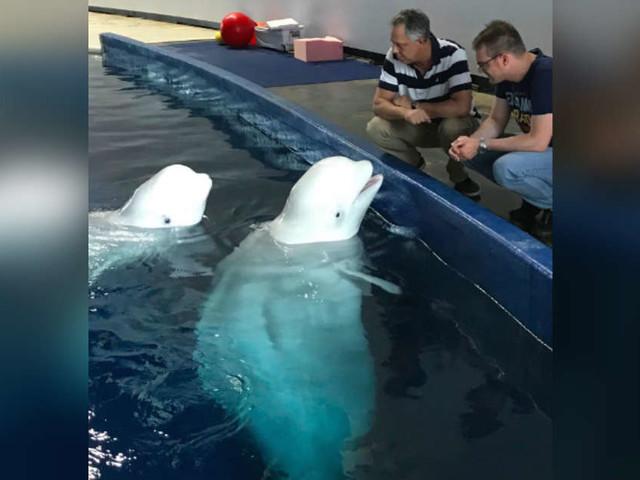 Captive Belugas Take Plane Ride To The Most Amazing Surprise