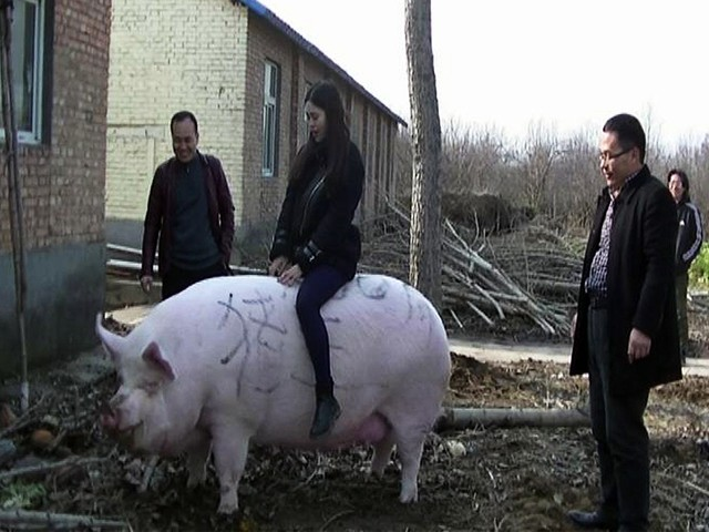 Chinese farmers are breeding 'mutant' pigs the size of polar bears