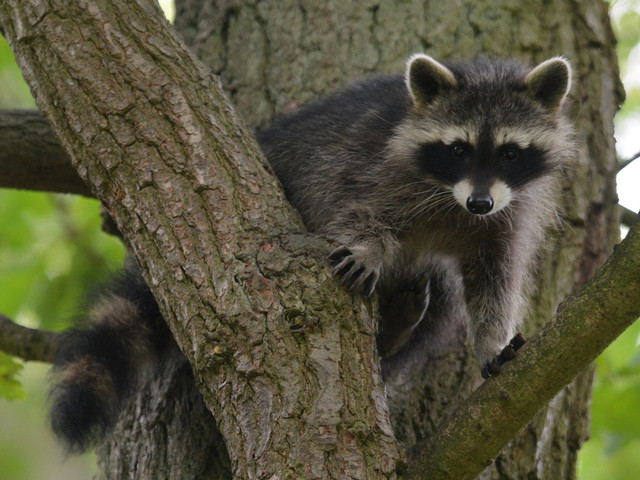 Racoon Found Dead In Santa Clarita Tree With Illegal Foothold Trap Around Paw