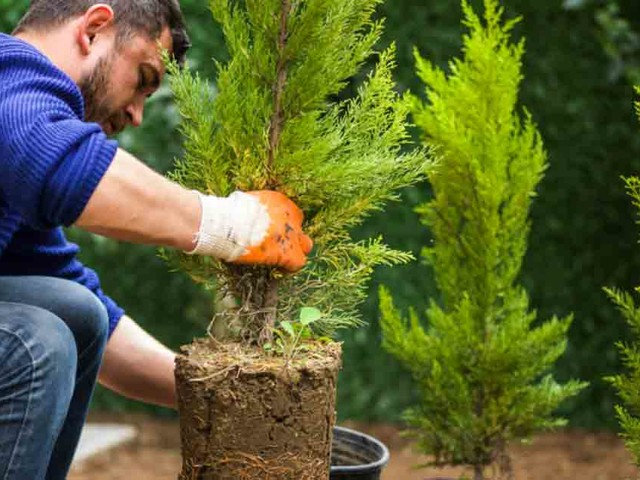You can easily grow evergreens in your garden