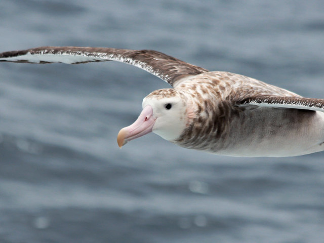 They're Stealthy at Sea, but They Can't Hide From the Albatross