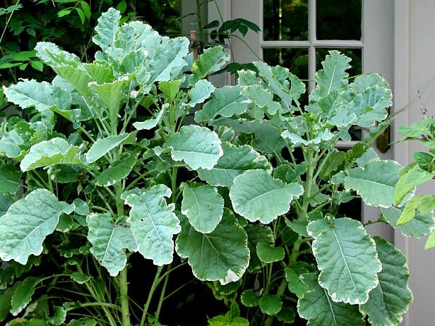 Bring Color & Flavor To Your Garden With 3 Unusual Kale Varieties