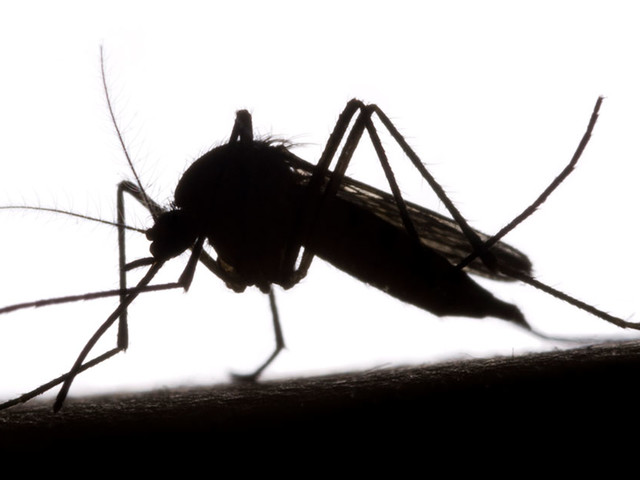GMO Mosquitoes To Be Released in Florida