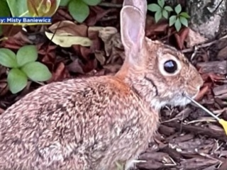 'My Heart Dropped': Woman, Neighbors Team Up To Rescue Rabbit Found With Dart In Its Face