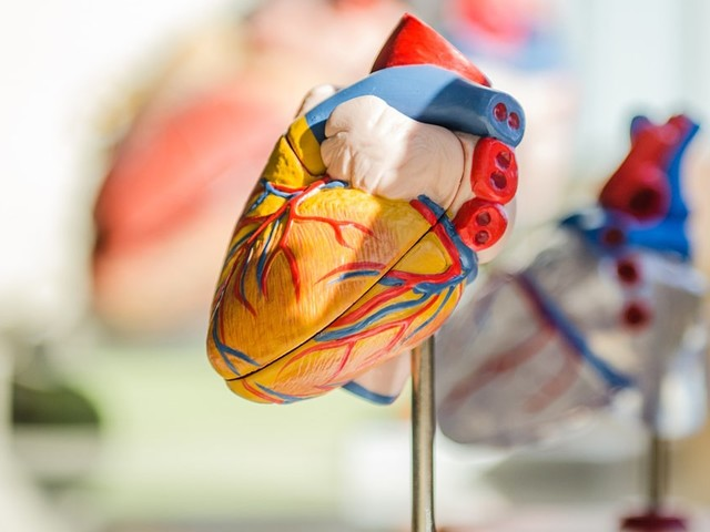 Finding Inspiration To Rebuild Human Heart Muscle
