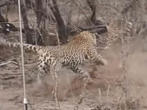 Stalking big cat wakes a sleeping leopardess and leads her on a chase in South Africa