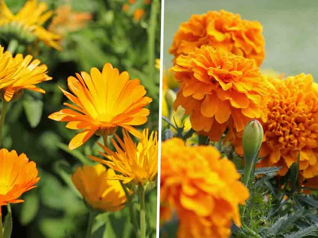 Marigolds Can Brighten up Your Life With Their Various Health Benefits