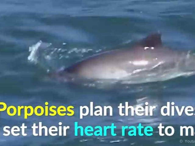 Porpoises Slow Down Their Heart Rates to Match Their Dives