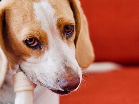 Dog Parent Essentials: Can Dogs Eat Rib Bones?