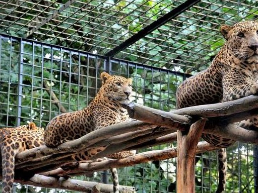 18 leopards to be shifted out of Tyavarekoppa safari