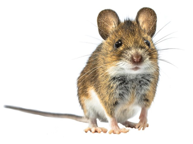 Is keto harmful after a week? It might be for a mouse