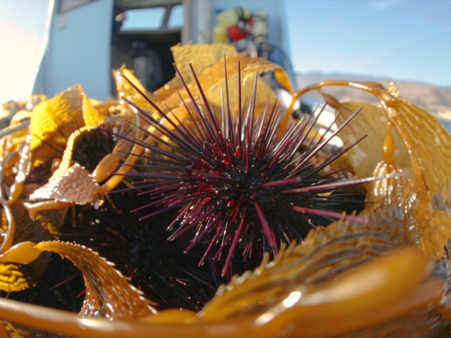 The dangers and delicacy of Santa Barbara sea urchins