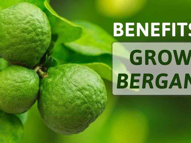 Benefits of Growing Bergamot