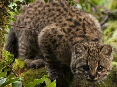 Vulnerable Chilean cat's main threat is habitat fragmentation