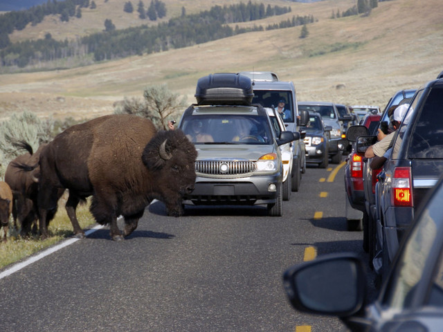 Woman gored by bison at Yellowstone after getting too close for photos