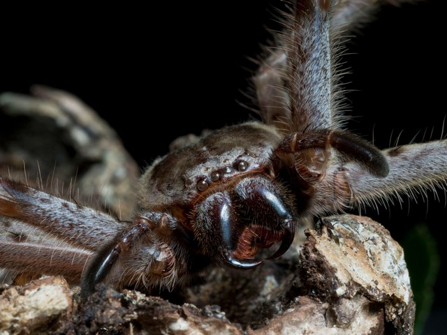 Couple watches in horror as massive huntsman spider eats a possum in their hotel room