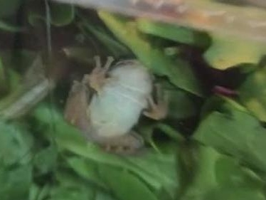 Watch: Wisconsin family finds live frog in store-bought salad