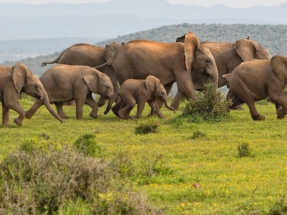 Plot twist! Elephants come up with a foolproof way to survive ivory poachers