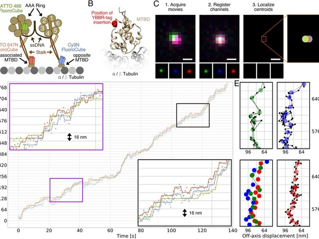 Three-color single-molecule imaging reveals conformational dynamics of dynein undergoing motility [Biophysics and Computational Biology]