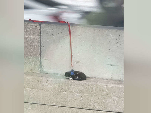 Cat On Leash Gets A Little Lost And Ends Up On Edge Of Bridge