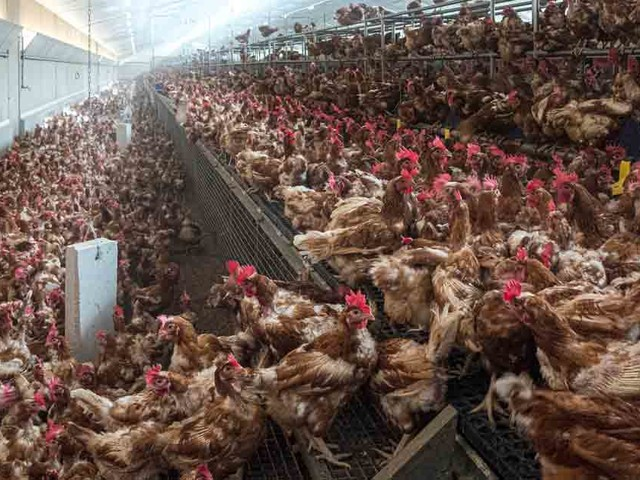 New Study Tells Why Chicken Is Killing You and Saturated Fat Is Your Friend