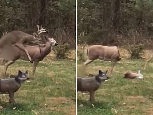 Hilarious video shows wild deer's shocked reaction when a statue he's humping loses its head