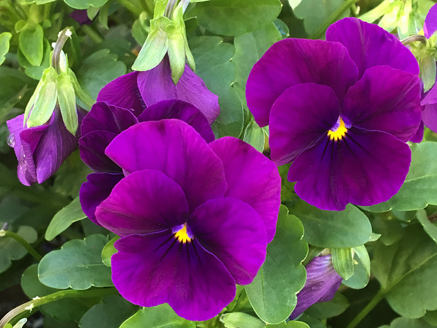Starting Pansies From Seed: A Late-Winter Project for Gardeners