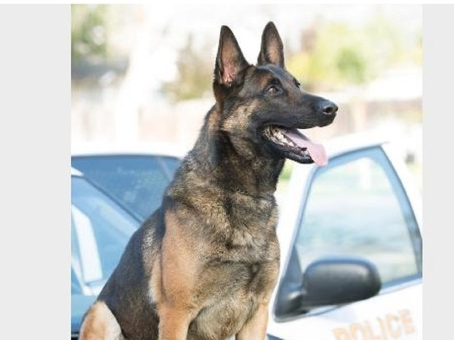Long Beach K-9 dies from being left in hot patrol car