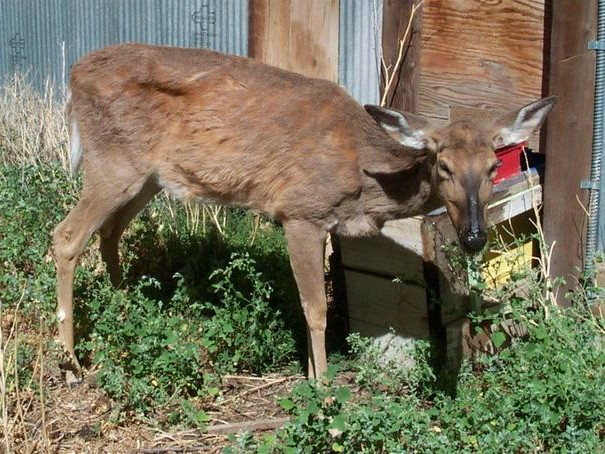 "Can ""Zombie Deer"" Disease Kill Humans? Research Suggests It Already Has"