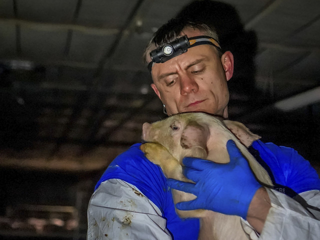Group's video shows suffering at Iowa lawmaker's pig farm