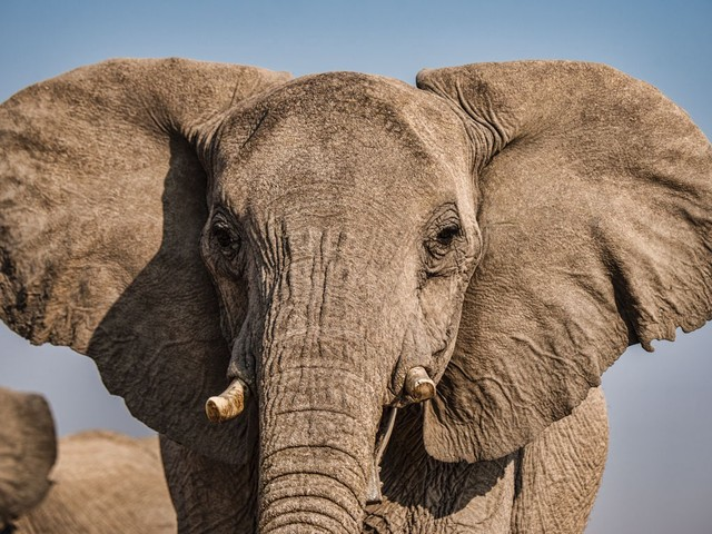 Eavesdropping on elephants in the name of research