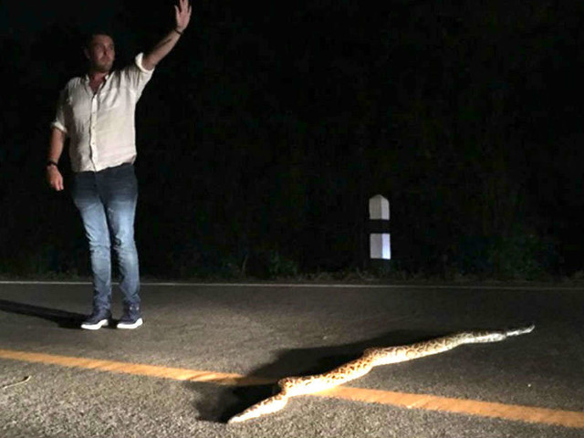 Man Stops Traffic So Huge Python Can Safely Cross The Road